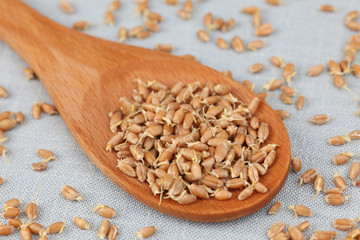 Wheat germs in a wooden spoon (Wheat sprouts)
