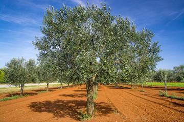 Olive trees near Rovinj, Istria, Croatia
