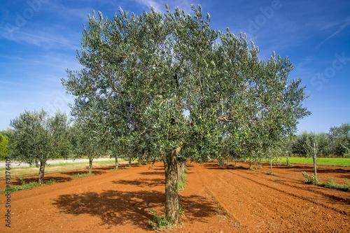 Aluminium Olijfboom Olive trees near Rovinj, Istria, Croatia