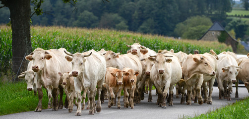 Herd of cows and veal in Pyrenees