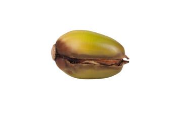germinated acorn isolated on white background
