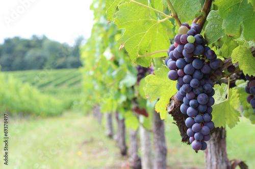 Papiers peints Vin Vigne - Merlot