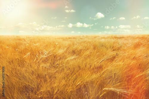 barley field and sunlight - 69379058