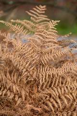 the autumnal impression - dry leaves of the fern