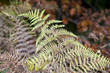 Постер, плакат: the autumnal impression dry leaves of the fern