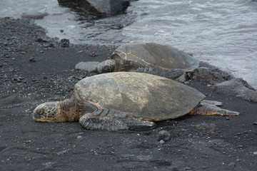 Sea Turtles on the Black Sand Beach