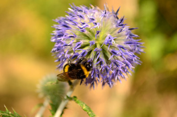 Bumblebee on a flower 3