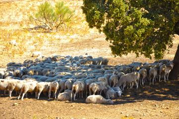 Ovejas bajo una encina, rebaño, ganado lanar, ovino