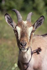 Funny goat portrait