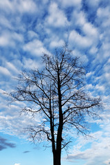 Siluate tree on the blue sky background