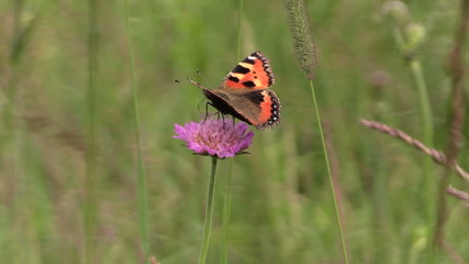 Small Tortoiseshell butterfly on bloom of pink flower in meadow