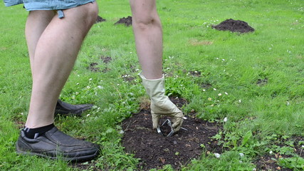 Mole hills on lawn and gardener hand take out empty mole trap