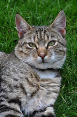 Beautiful striped cat lying on green grass. Adult gray tabby cat