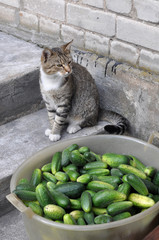 Cat sitting in stairs and cucumbers in a bowl