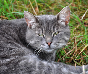 Gray striped cat lying in a big long green grass.