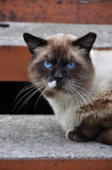 Siamese sad cat with blue eyes