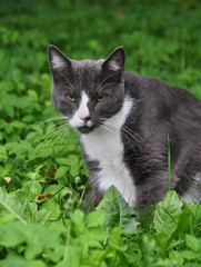 Adult gray cat on a background of green grass.