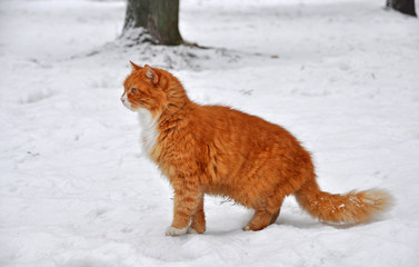 Cat standing on snow and looks into the distance.