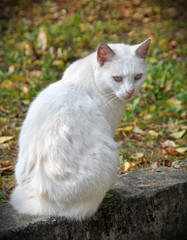 White cat sitting on the grass around the fallen leaves.