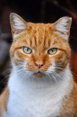 Portrait of an adult red color cat.