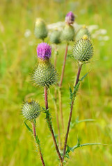 Flowering blossoming thistle
