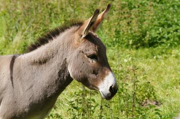 Petit âne gris - âne de Shrek