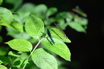 Libellen Männchen und Weibchen