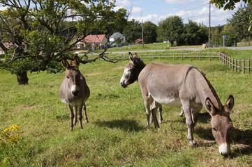 Trio d'ânes gris