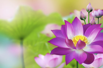 Beautiful Purple Lotus water plant -  Lotus flower