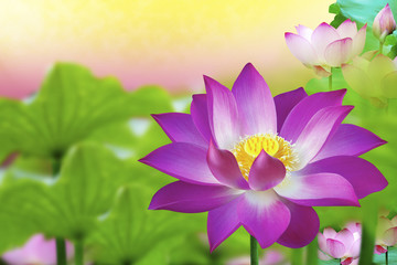 Beautiful pink lotus flower in pond - Flower Blossom