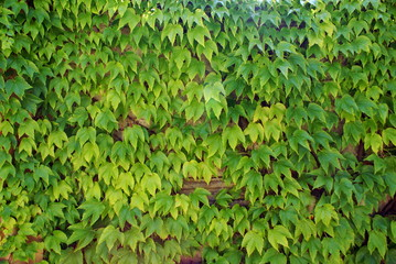 Ivy - climbing ever green plants