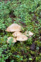 Группа маслят растет в лесу