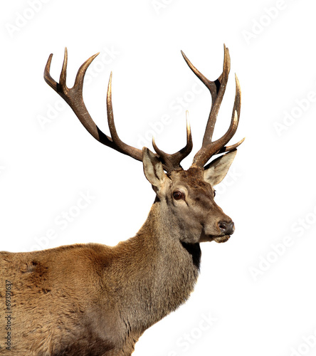 Foto op Aluminium Hert Deer isolated on white