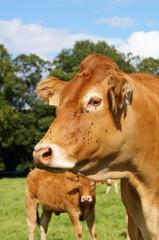 Tête d'une vache de la race Limousine