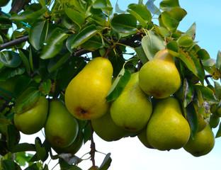 Grappe de poires