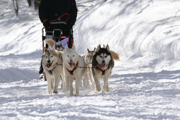 sleddog corsa con i cani da slitta sport invernale
