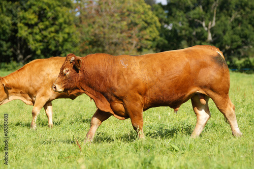Fuschia limusine bull