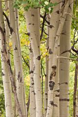 aspen forest trees  in colorado