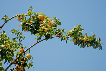 The apricot tree branch