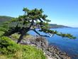 城ヶ崎海岸 松がある風景