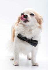 cute Chihuahua dog  with black bow tie on white background