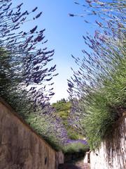Lavender Stems against the sky