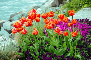 Tulip garden with lake background