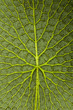 Amazonas-Riesenseerose Unterseite - 69401496