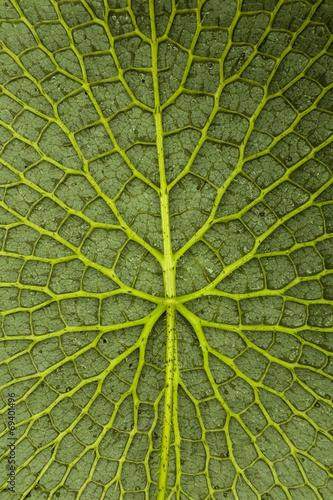 Poster Water planten Amazonas-Riesenseerose Unterseite