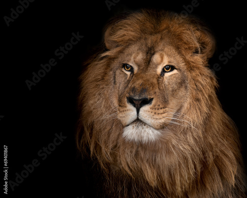 Fotobehang Leeuw lion on a black background.