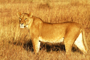 Lion on the Masai Mara in Africa