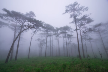 Pine forest with mist and wildflowers field