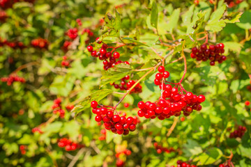 Red  berries from close in sunlight
