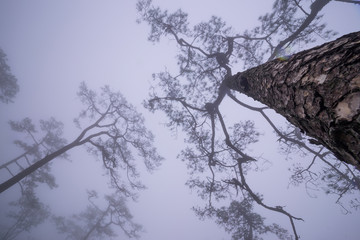Pine forest with mist